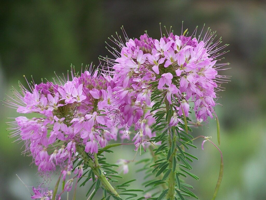 fireweed image by skeeze via Pixabay