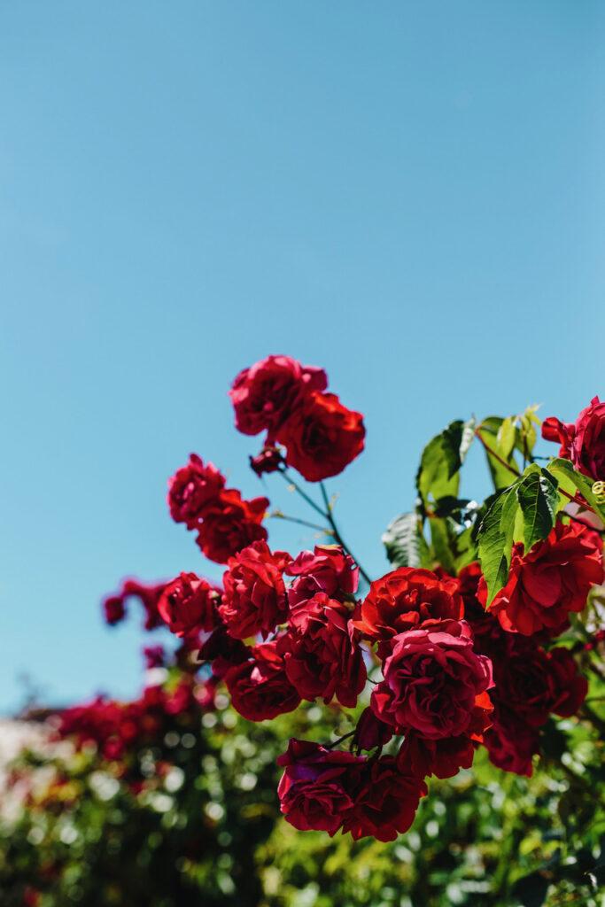 Roses of Bulgaria via kaboompics