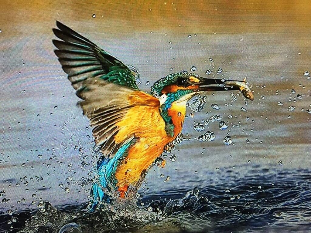 Kingfisher by Mike Lane FRPS