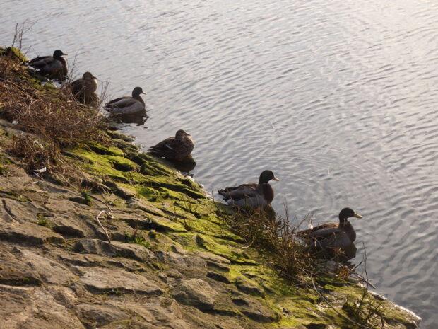 socially distanced ducks