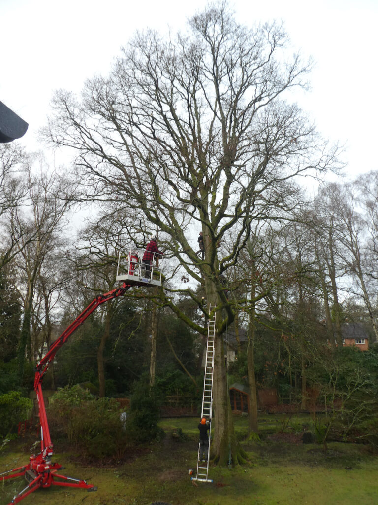 Tree clipping -  Paul climbed  20 M or so into the topmost branches with his chainsaw swinging from his belt.