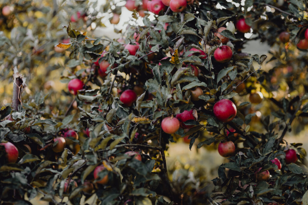 Red apples on a tree in the garden - image by kaboompics.