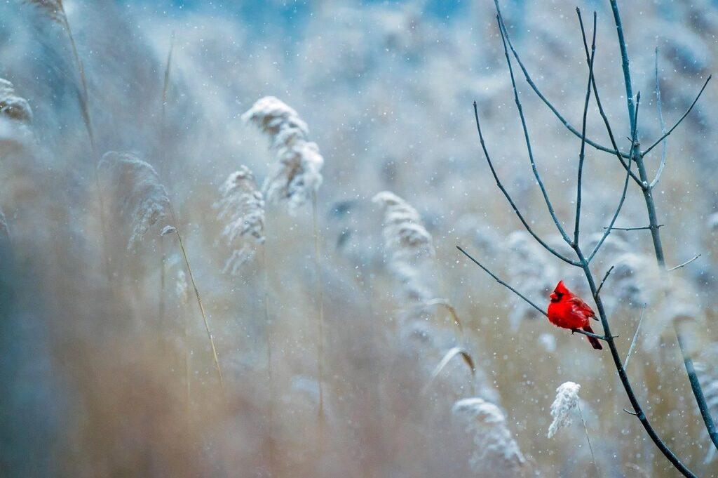 Cold weather cardinal image via Pixabay