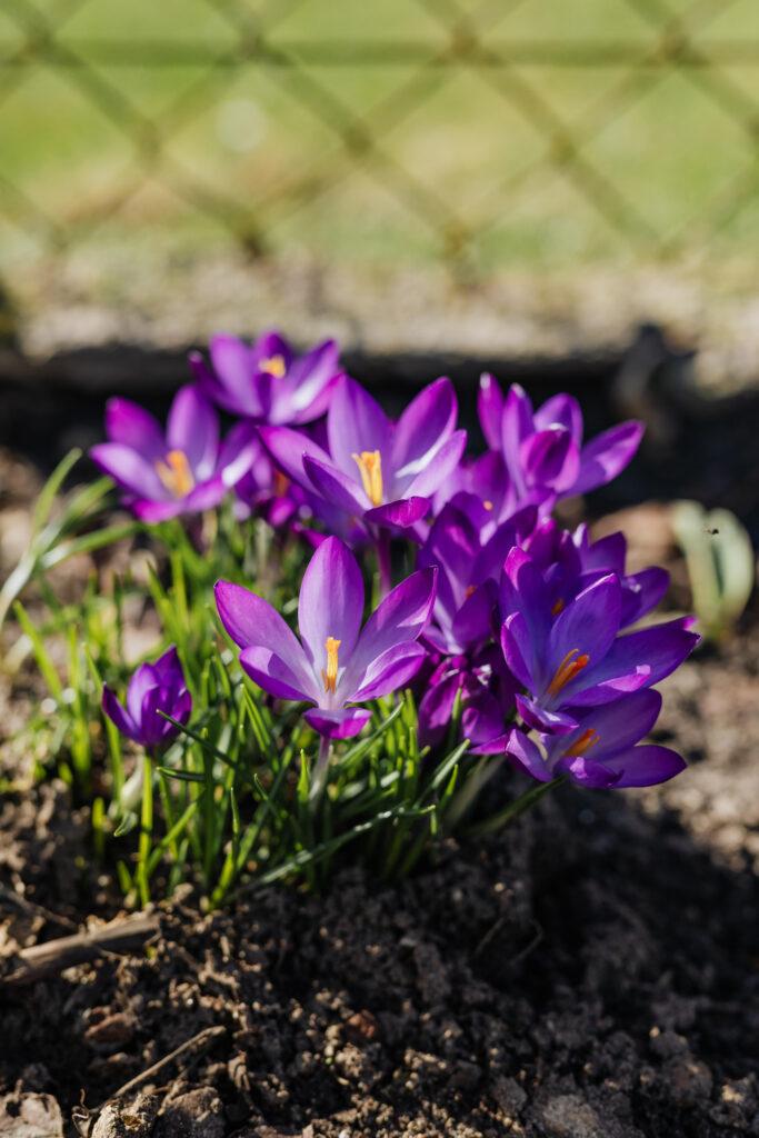 kaboompics: Purple crocuses blooming in spring