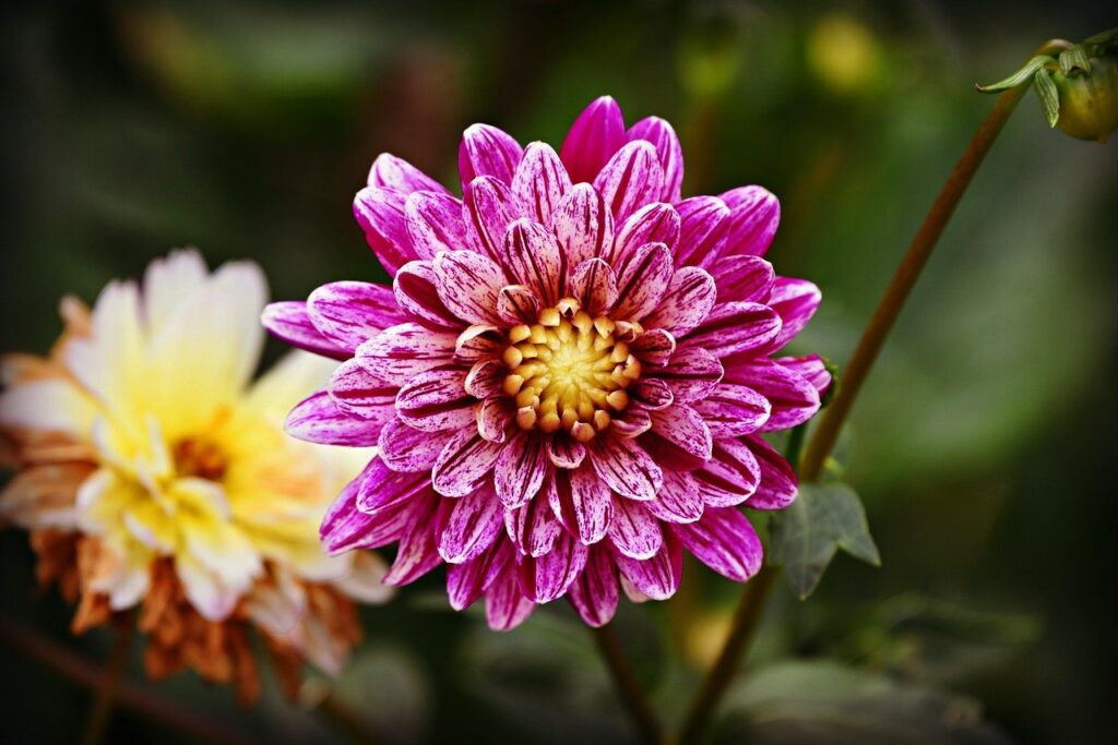 Dahlia flower image by Mabel Amber from Pixabay
