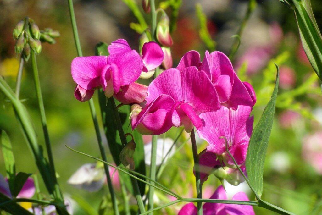 Sweet peas image by Nowaja via Pixabay